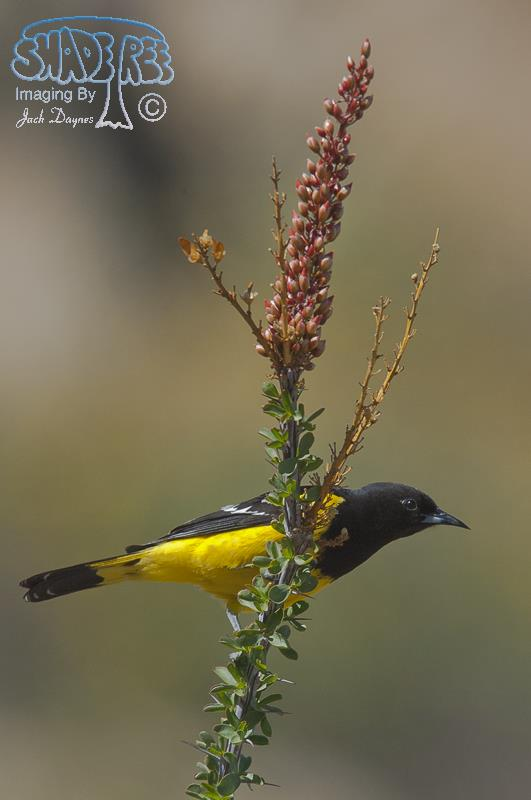 Scott's Oriole - Icterus parisorum