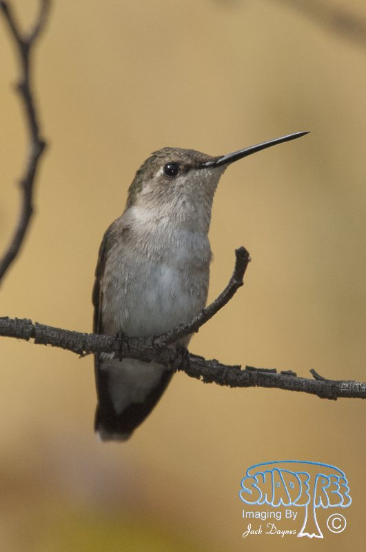 Black-Chinned Hummingbird - Archilochus alexandri