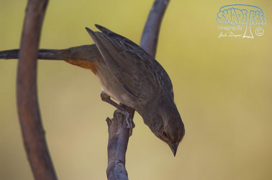 California Towhee - Pipilo crissalis