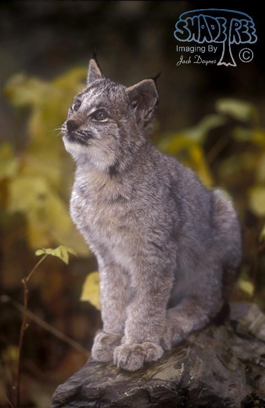 Canadian Lynx - Felis lynx canadensis