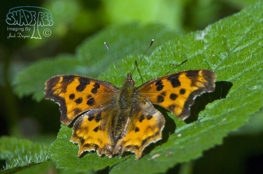 Satyr Anglewing Butterfly - Polygonia satyrus