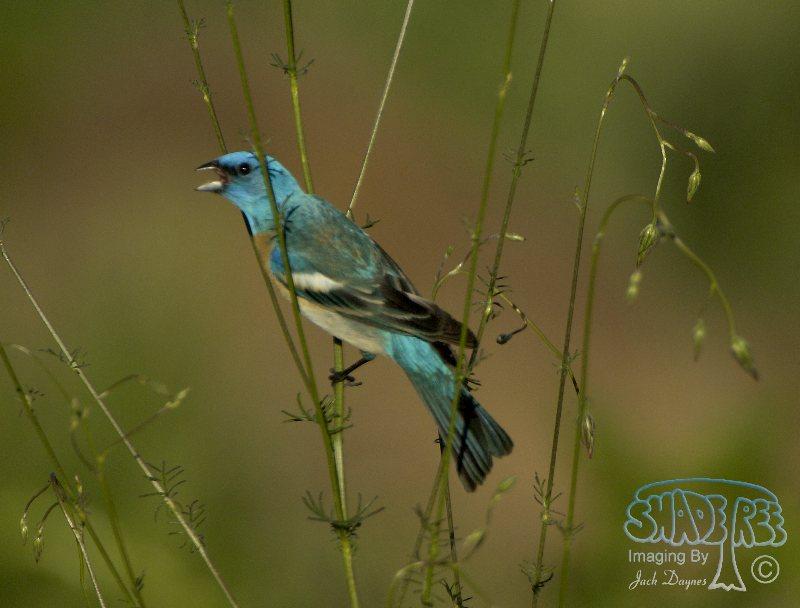 Lazuli Bunting - Passerina amoena