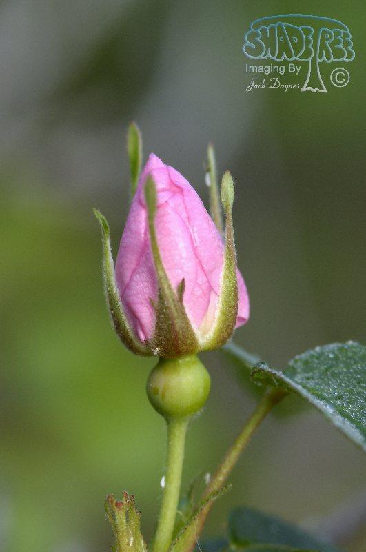 Prickly Rose - Rosa acicularis
