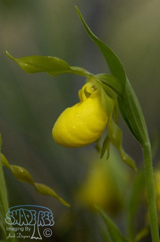Yellow Lady's-slipper - Cypripedium parviflorum
