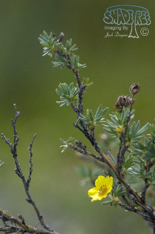 Shrubby Cinquefoil - Potentilla fruticosa