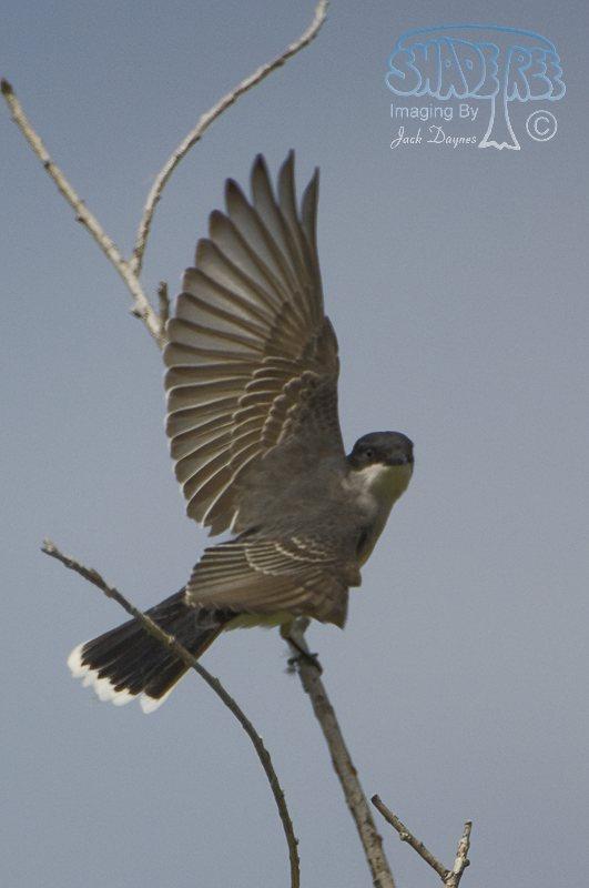 Eastern Kingbird - Tyrannus tyrannus