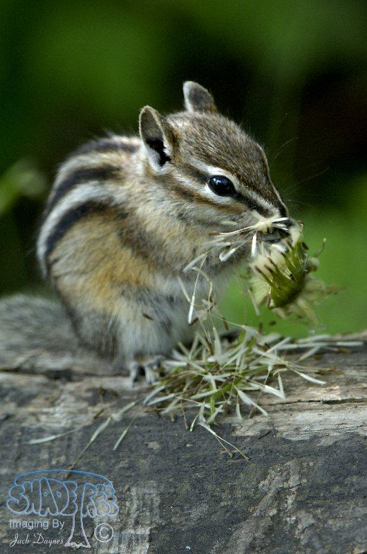 Least Chipmunk - Tamias minimus