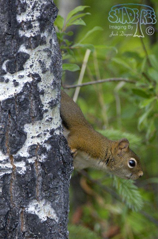 Red Squirrel - Tamiasciurus hudsonicus