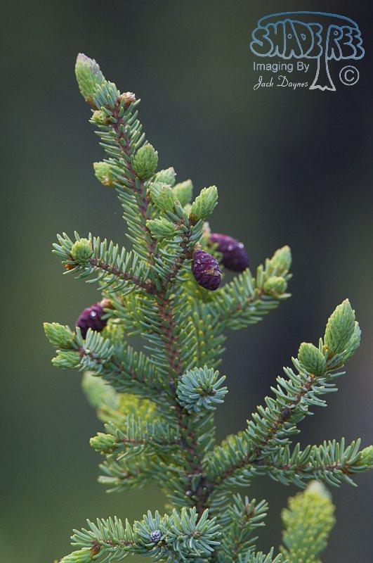 Black Spruce - Picea mariana