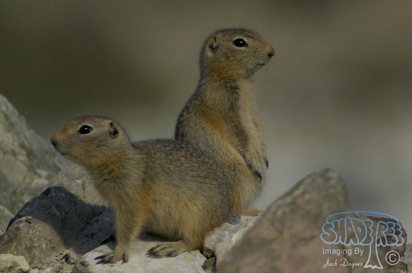 Arctic Ground Squirrel - Spermophilus parryii