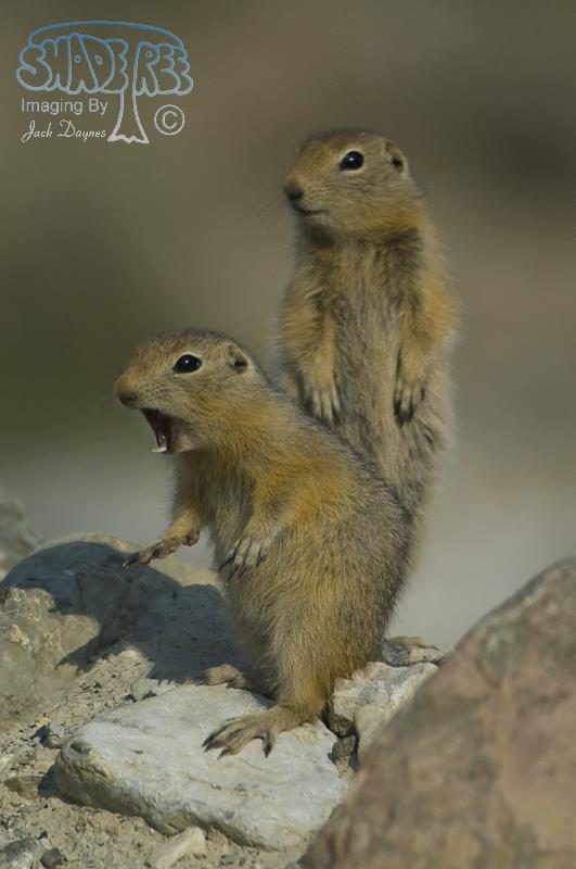 Arctic Ground Squirrel - Spermophilus parryii