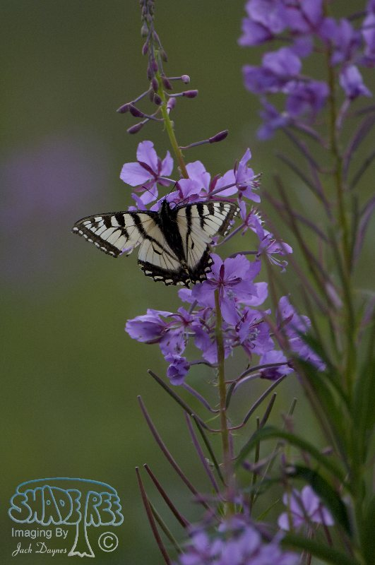 Fireweed - Cineraria Canadensis