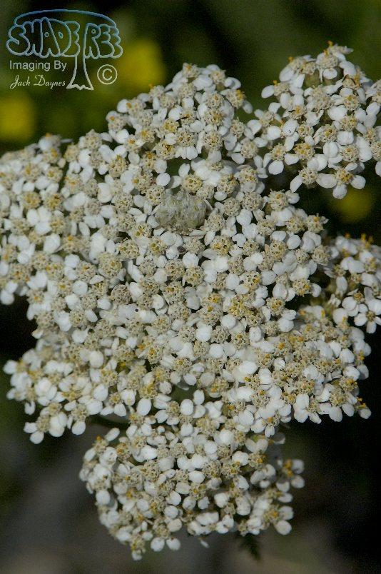 Yarrow - Achillea borealis