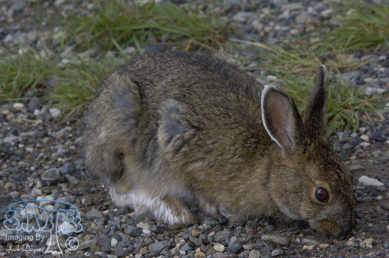 Snowshoe Rabbit - Lepus americanus