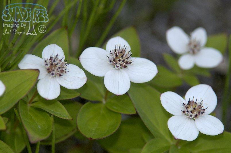 Canadian Dogwood - Cornus canadensis