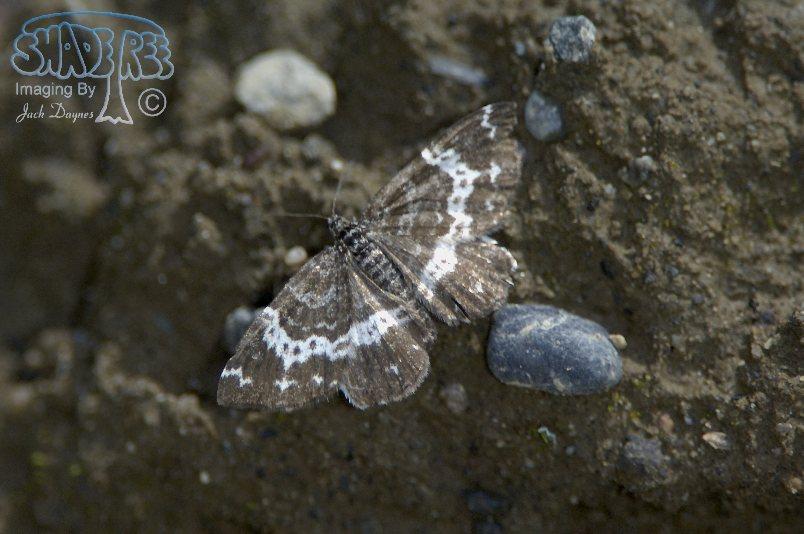 Geometrid Moth - Rheumaptera subhastata