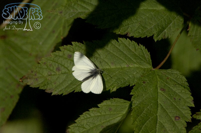 White Butterfly - Unknown sp.