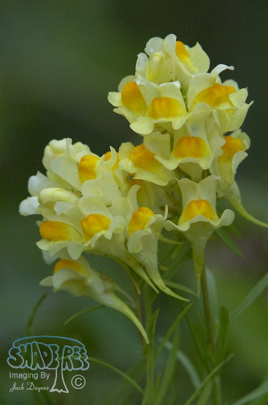 Butter and Eggs Flower - Linaria vulgaris