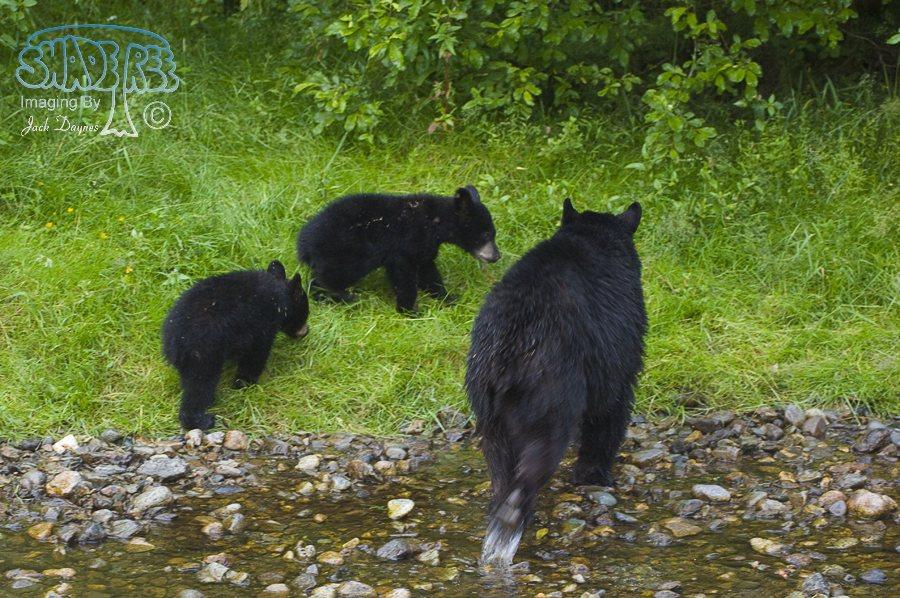American Black Bear - Ursus americanus