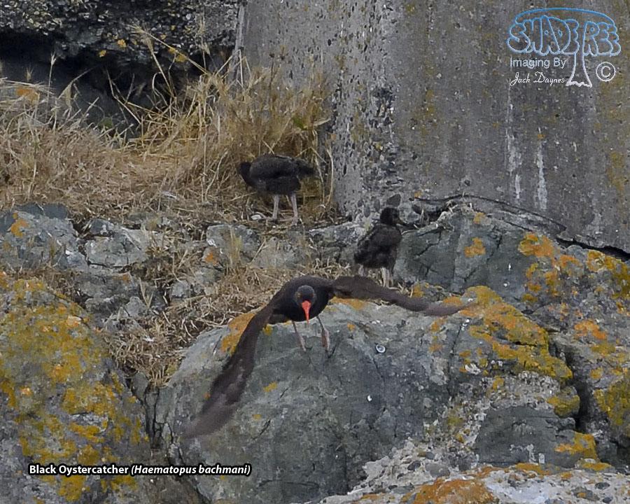 Black Oystercatcher - Haematopus bachmani