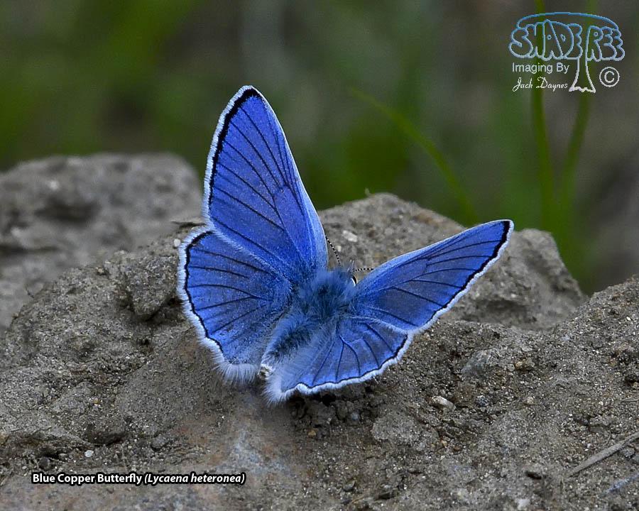 Blue Copper Butterfly - Lycaena heteronea