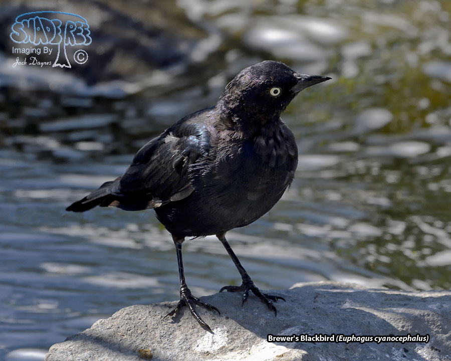 Brewer's Blackbird - Euphagus cyanocephalus