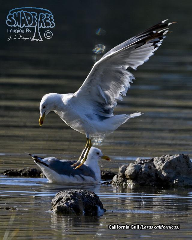 California Gull - Larus californicus