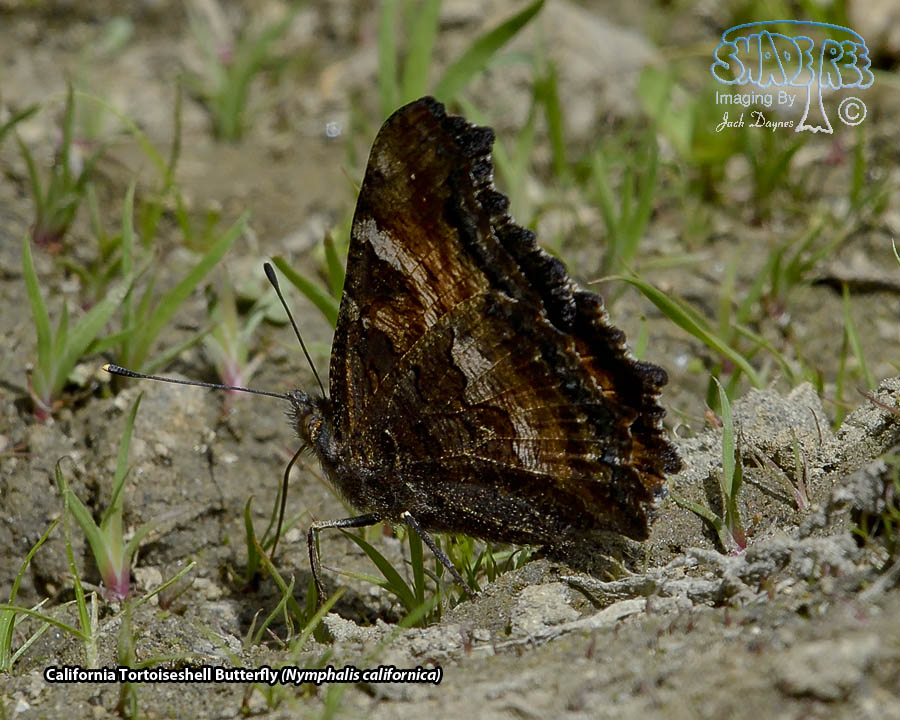 California Tortoiseshell Butterfly - Nymphalis californica