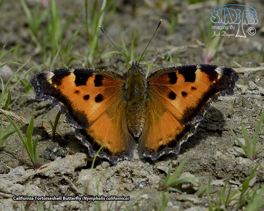 California Tortoiseshell Butterfly - Nymphalis californica