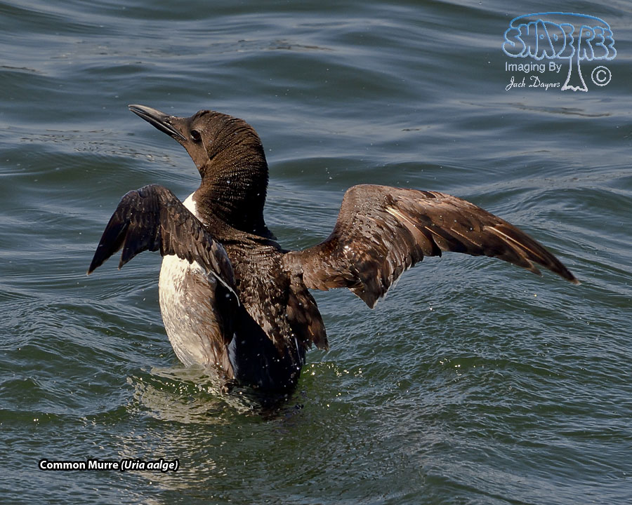 Common Murre - Uria aalge