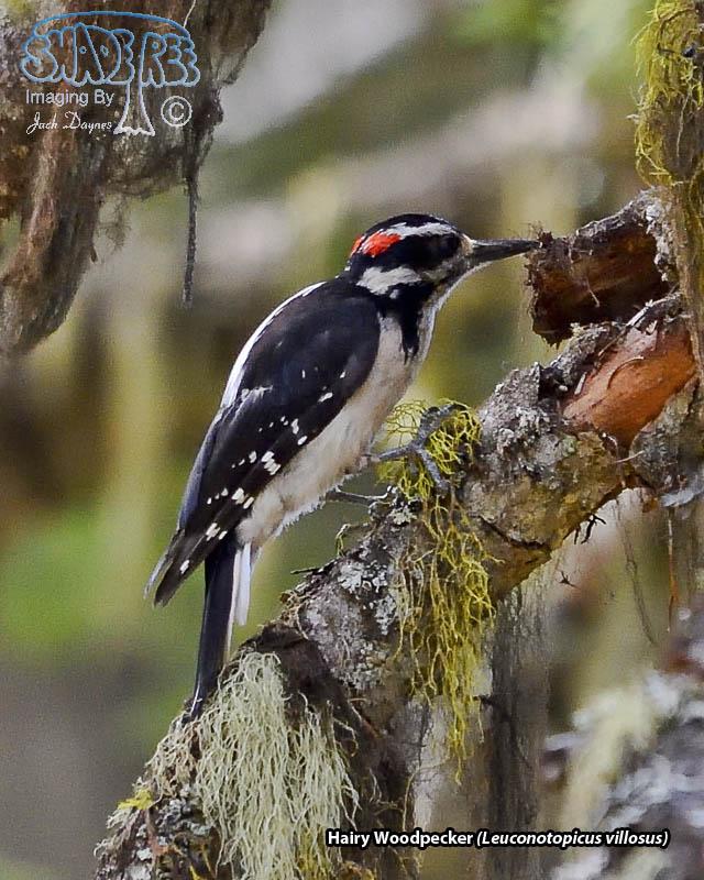 Hairy Woodpecker - Leuconotopicus villosus