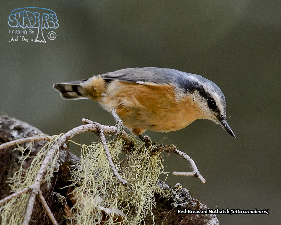 Red-Breasted Nuthatch - Sitta canadensis