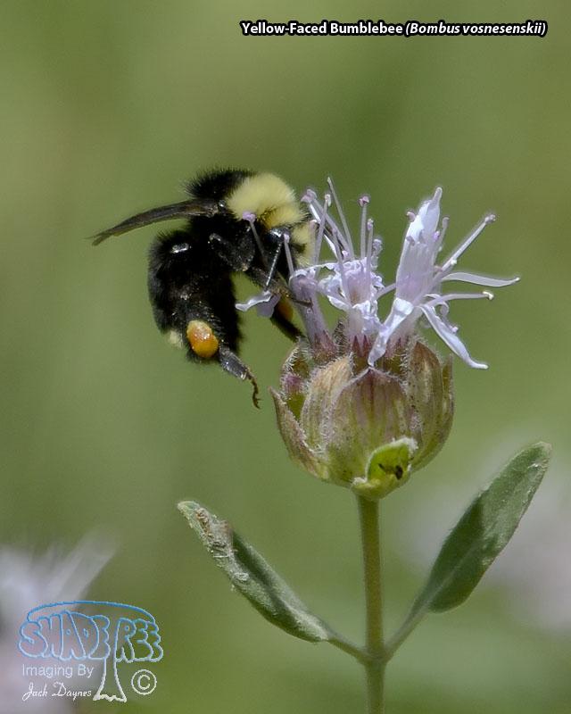 Yellow-Faced Bumblebee - Bombus vosnesenskii