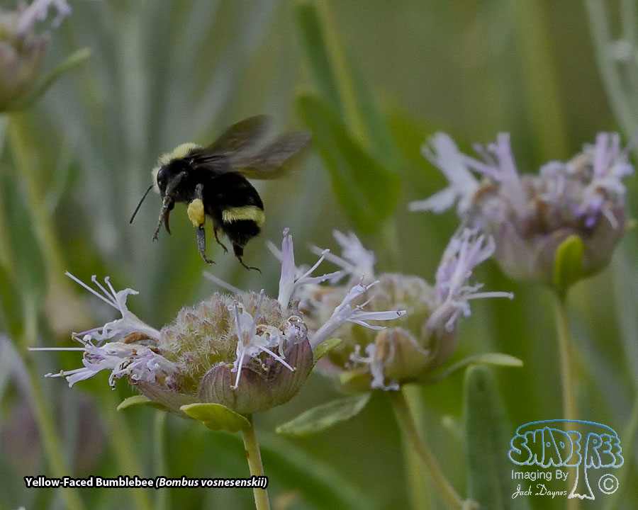 Yellow-Faced Bumblebee - Bombus vosnesenskii