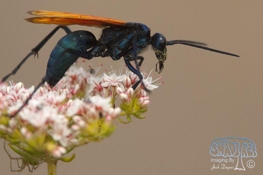 Tarantula Hawk Wasp - Hemipepsis spp.