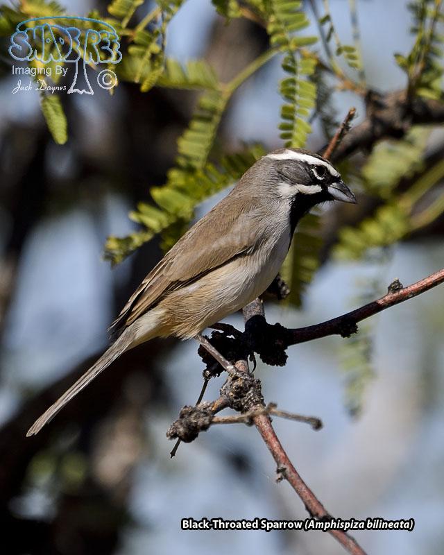 Black-Throated Sparrow - Amphispiza bilineata