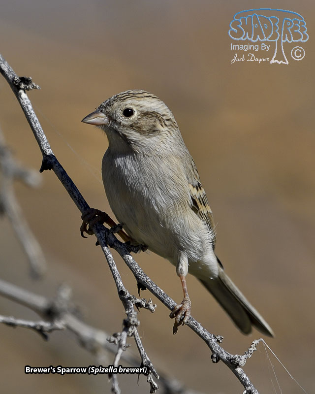 Brewer's Sparrow - Spizella breweri