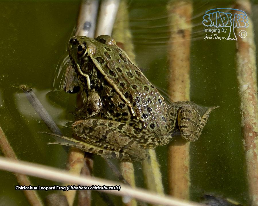 Chiricahua Leopard Frog - Lithobates chiricahuensis