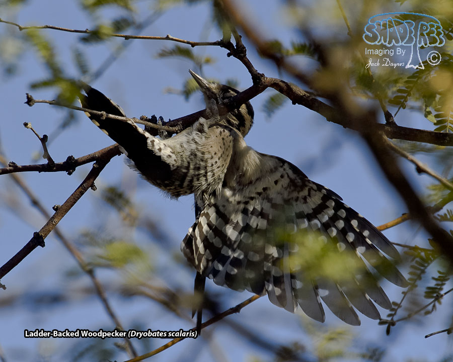 Ladder-Backed Woodpecker - Dryobates scalaris