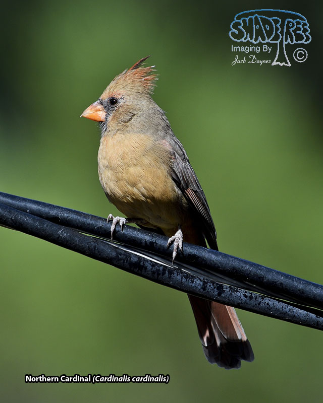 Northern Cardinal - Cardinalis cardinalis