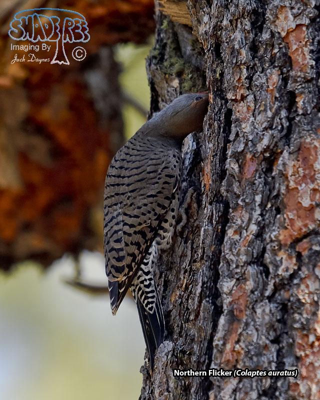 Northern Flicker - Colaptes auratus