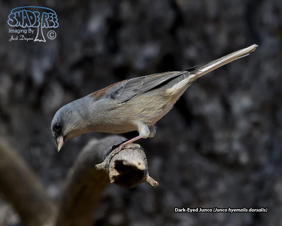 Dark-Eyed Junco - Junco hyemalis dorsalis