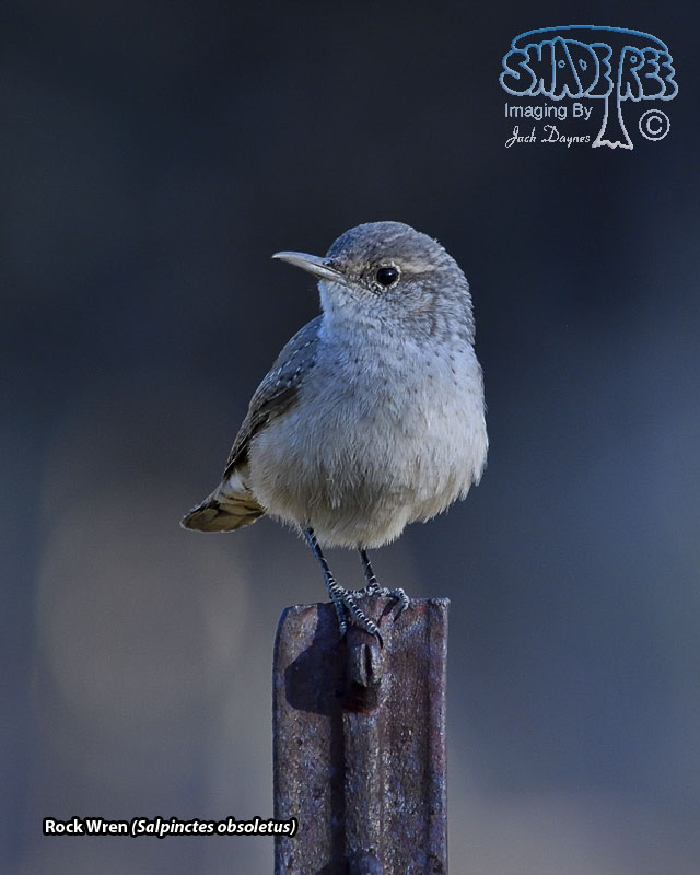 Rock Wren - Salpinctes obsoletus