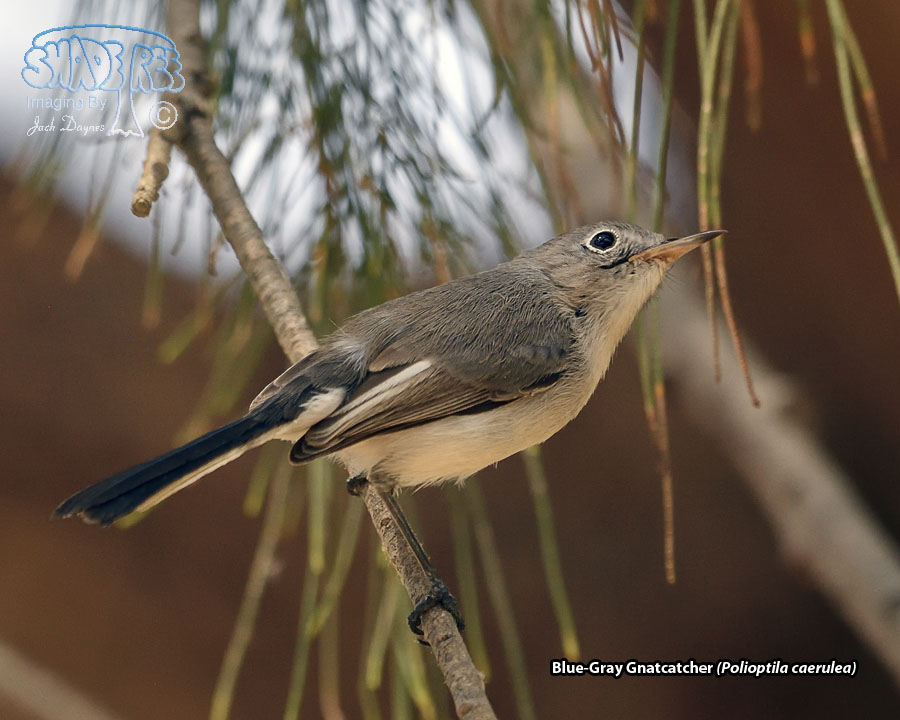 Blue-Gray Gnatcatcher - Polioptila caerulea