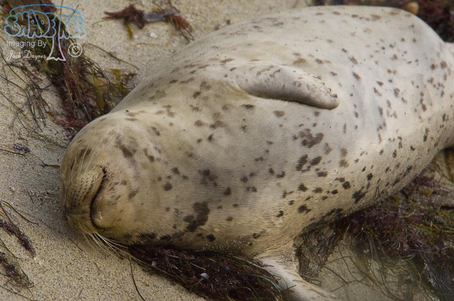Harbor Seal - Phoca vitulina
