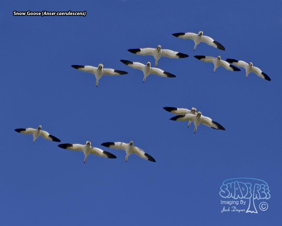 Snow Goose - Anser caerulescens