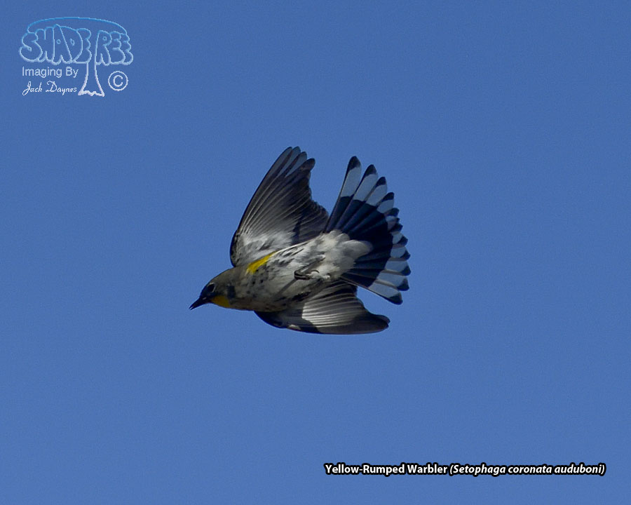 Yellow-Rumped Warbler - Setophaga coronata auduboni