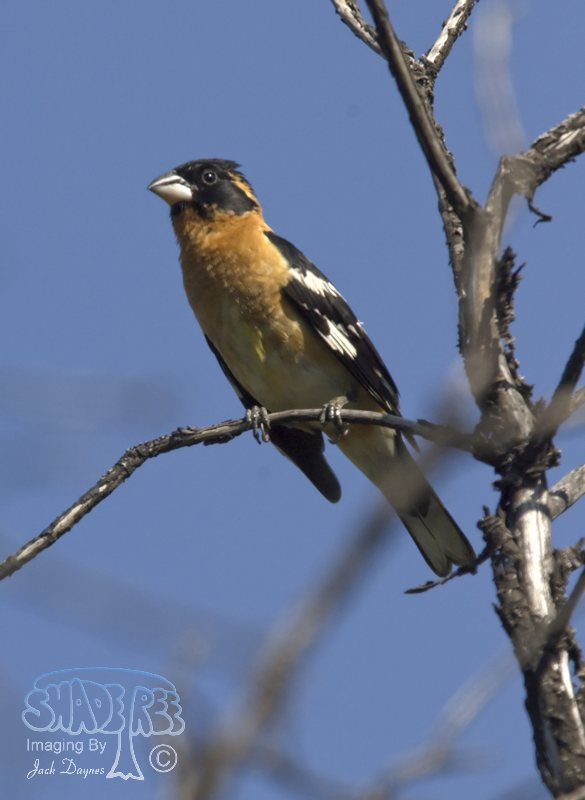 Black-Headed Grosbeak - Pheucticus melanocephalus