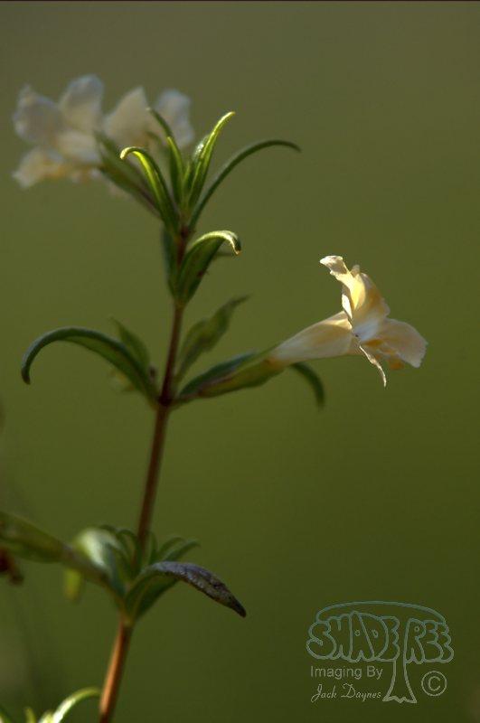 Bush Monkey Flower - Mimulus aurantiacus
