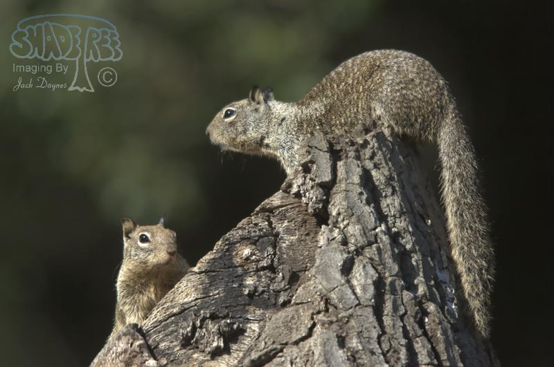 California Ground Squirrel - Otospermophilus beecheyi